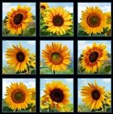 Picture of Sunflowers Beautiful Sunflower Blocks 24x44 Large Cotton Fabric Panel