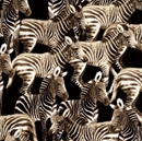Picture of Baby Zebra Foal Running Zebras on Black Cotton Fabric
