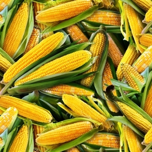 Food Festival Large Ears Of Corn In Green Husk Cotton Fabric