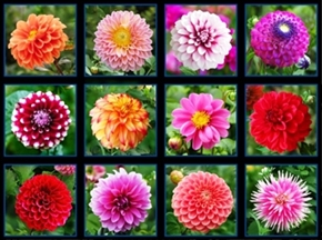 Picture of Digital Garden Dahlia Flower Blocks 24x44 Large Cotton Fabric Panel