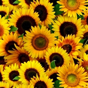 Sunflower Bright Yellow Sunflowers In Full Bloom Cotton Fabric