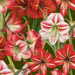 Picture of Making Spirits Bright Red and White Amaryllis Flowers Cotton Fabric