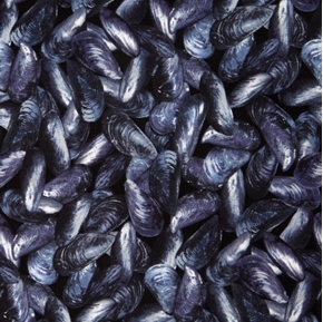 Picture of Maine Attractions Mussel Beach Shells Seafood Indigo Cotton Fabric