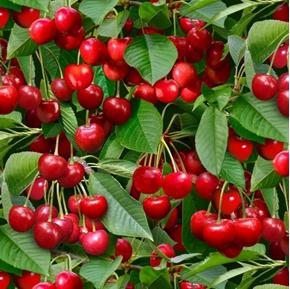 Berry Good Red Cherries and Green Leaves Cherry Cotton Fabric