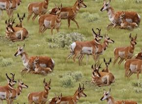 North American Wildlife Pronghorn Antelopes in Grass Cotton Fabric