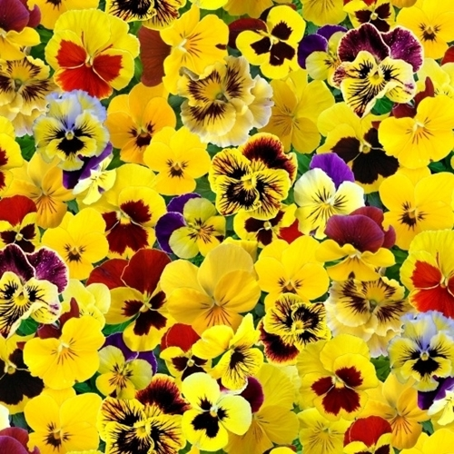 Picture of Lovely Pansies Pansy Flowers in Shades of Yellow Cotton Fabric