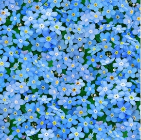 landscape medley forget me not flowers blue petals cotton fabric