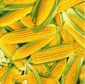 Picture of Corn Ears of Yellow Corn in Green Husks Vegetable Cotton Fabric