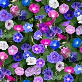 Landscape Medley Morning Glory Flowers Blue Purple Pink Cotton Fabric