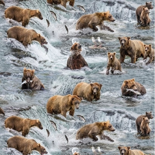 Picture of Fishing Bears Brown Bear with Cubs Catching Salmon Cotton Fabric