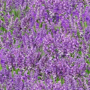 Landscape Medley Lavender Flowers Fields of Lavender Cotton Fabric