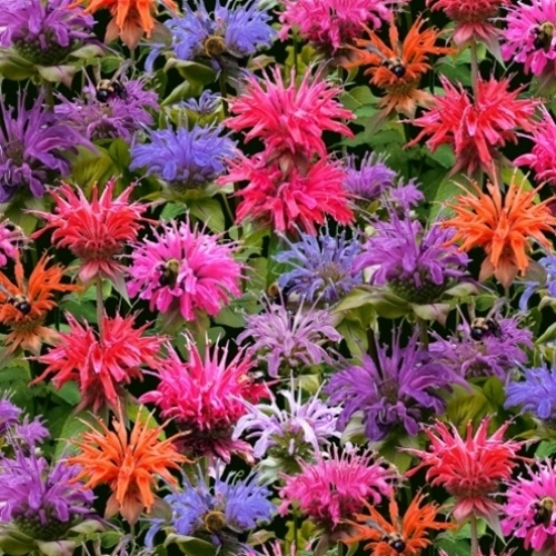 Bees and Flowers Colorful Bee Balm Flower Heads Cotton Fabric