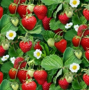 Berry Good Strawberry Ripe Strawberries on the Bush Cotton Fabric