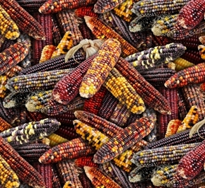 Food Festival Indian Corn Fall Holiday Cotton Fabric