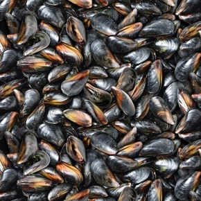 Picture of Food Festival Black Mussel Shells Mollusc Seafood Cotton Fabric