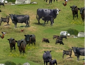 Farm Animals Black Angus Cows Grazing in the Grass Cow Cotton Fabric
